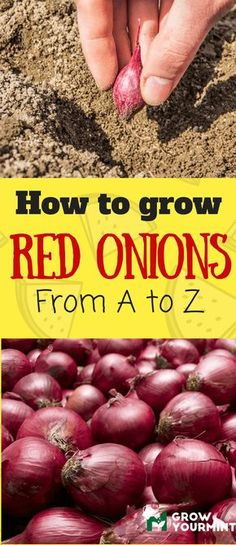 How to grow red onions #garden#onion#growyourmint
