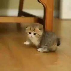 Cute Baby Cats, Cute Little Animals, Cute Cats And Kittens, Cute Funny Animals, Cute Dogs, Funny Cats, Ragdoll Kittens, Adorable Kittens, Funny Animal Pictures