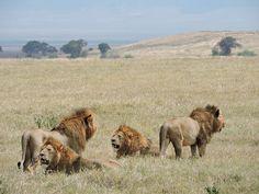 Afrika ist ein unglaublich vielseitiger Kontinent! In zwei Teilen stelle ich die schönsten Nationalparks und Safarierlebnisse im ebookers Reiseblog vor. Foto: Ngorongoro von Mike bei Flickr : CC BY 2.0