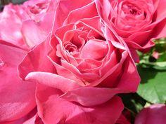 Hot pink petals.