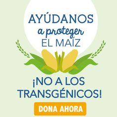 Mentiras y verdades sobre el maíz transgénico   Greenpeace México