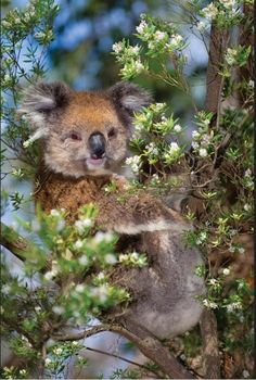 Koala Cuttie #coupon code nicesup123 gets 25% off at www.Provestra.com www.Skinception.com and www.leadingedgehealth.com