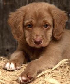Nova Scotia Duck-Tolling Retriever. Quite the name.  Cute puppies and a good dog!