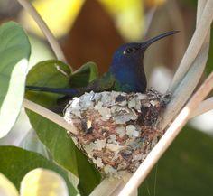 Foto beija-flor-tesoura (Eupetomena macroura) por Hernán Piñón Arias | Wiki Aves - A Enciclopédia das Aves do Brasil