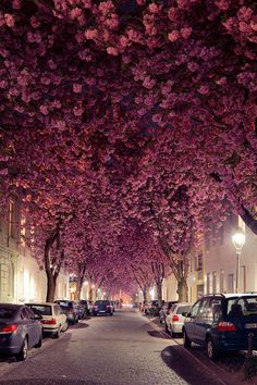 Cherry blossom avenue in Bonn, Germany. For two to three weeks each spring, the magical tunnel created by the trees lining Cherry Blossom Avenue in Bonn, Germany, brings in tourists and photographers alike. Cherry Blossom Tree, Blossom Trees, Pink Blossom, Cherry Tree, Beautiful Streets, Beautiful World, Beautiful Roads, Beautiful Hotels, Beautiful Gorgeous