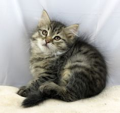 One of our young available kittens - www.siberiancat.com