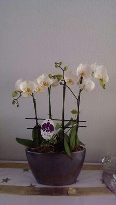 20150605 Phalaenopsis 蝴蝶蘭