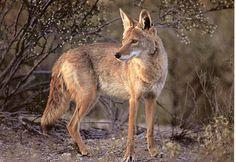 coyote | Coyote | elblogdelequipo15