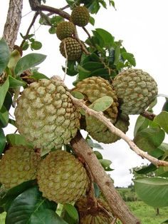 Annona coriacea, (Portugese: fruta-do-conde) an edible fruit tree native to…