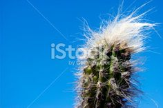 Looking upward to the top of a Cactus plant with plenty of room for. Closer To Nature, Image Now, Cactus Plants, Royalty Free Stock Photos, Vibrant, Sky, Flowers, Blue, Heaven