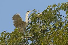 mis fotos de aves: Nycticorax nycticorax Garza bruja Black-crowned ni...