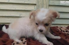 Meet ROWDY a cute Chihuahua puppy for sale for $900. AKC/CKC FAWN/WHITE MALE