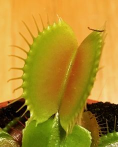 #dionaea  #carnivorousplant  #boccaaperta