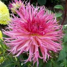dahlia Marvelous Mans - B Jan's Country Garden