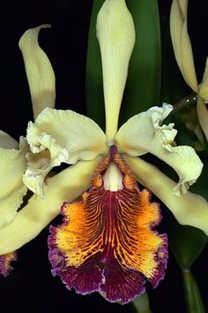 Cattleya Aurea Linden 1883 | Cattleya aurea Linden 1883 SUBGENUS Cattleya SECTION Xantheae Withner ...