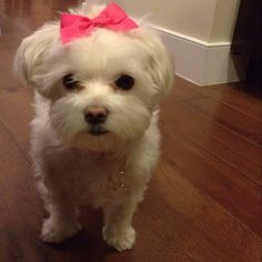 My Maltese acting like she doesn't mind the hair bow.