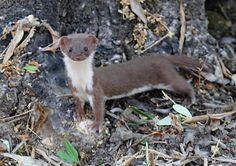#Doninha  #Weasel #Animal