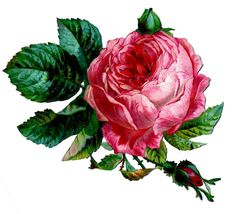 Shabby Graphic - Pink Cabbage Rose - The Graphics Fairy