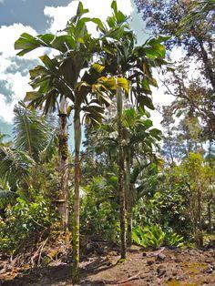 Hydriastele beguinii Marcus garden, Hawaii