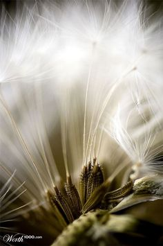 Enter free contests in creative categories like photography, graphic design, logo, web, photoshop art and illustration. Dandelion Clock, Dandelion Wish, Dandelion Flower, Artistic Photography, Macro Photography, Fine Art Photography, Taraxacum Officinale, Nature Sauvage, Seed Pods