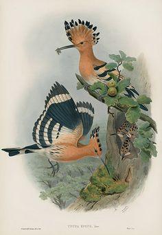 Upupa Epops - Hoopoe USD $795 Bird Prints by John Gould 1862