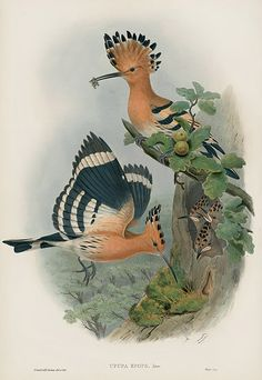 Upupa Epops - Hoopoe USD $795 Bird Prints by John Gould 1862