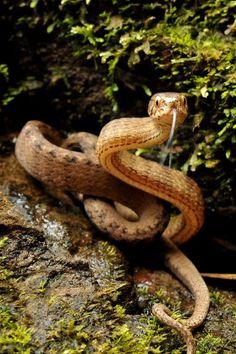 Keeled Slug Snake (Pareas carinatus). Serpent. ❣Julianne McPeters❣ no pin limits