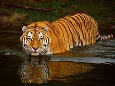tigers in the wild - Google Search