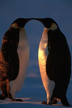 Emperor penguins in low light at Snow Hill Island rookery