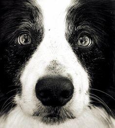 Border Collie pup!