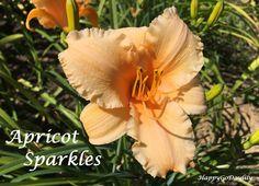Apricot Sparkles  photo by HappyGoDaylily