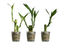 Glass Cylinder Ribbed Party Lucky Bamboo Favor 24 Pack (DA0128_X