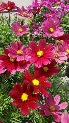 Red Carmine Cosmos Cosmos Flowers, All Flowers, Colorful Flowers, Beautiful Flowers, Flower Background Wallpaper, Flower Backgrounds, Still Life Flowers, Unusual Flowers, Birth Flowers
