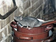 #RatExclusionService providers find out all the locations of the rats, and set traps or place bait. Know more about the #RatExclusion: https://bit.ly/2Fb7Cwb