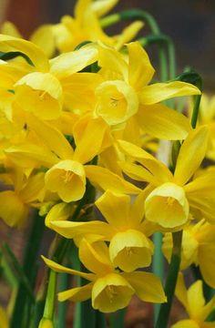 Narciso Narcissus 'Hawera' Fotografia de John Glover, uno de los primeros y de los mas importantes fotografos de jardin del Reino Unido
