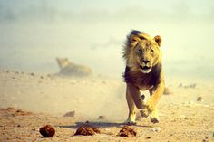 I love the Newsboys and this song is incredible - My God's not dead He's surely alive, He's living on the inside, Roaring like a LION! Animals Tumblr, Like A Lion, Gods Not Dead, Lion Of Judah, Serval, Mundo Animal, Cheetahs, Big Cats, Animal Kingdom