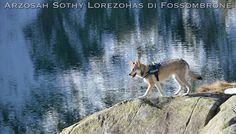 Arzosah Sothy Lotezohas di Fossombrone - 2 anni e mezzo - proprietà: Giovanna Cristelli  #WeAreFossombrone #Saarloos