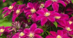 The Clematis vine - a gorgeous plant in any garden. Growing clematis can add lots of color to your garden, and with many different sizes, you can fit one in any garden.