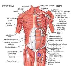 Human Muscle Diagram Diagram Of Knee Tendons Inspirational Human Muscle System Body. Human Muscle Diagram The Human Muscle Anatomy Diagram Of Anatomy. Hip Muscles Anatomy, Hip Anatomy, Anatomy Organs, Human Body Anatomy, Human Anatomy And Physiology, Anatomy Drawing, Anatomy Male, Shoulder Muscle Anatomy, Neck Muscle Anatomy