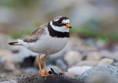 Common ringed plovers breed on open ground on beaches and flats across northern Eurasia and the Arctic NE, wintering in coastal areas in Africa.