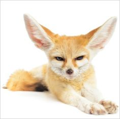 Fennec fox: These tiny creatures hail from North African deserts, and although they are not domesticated animals, they usually do quite well as pets.