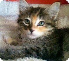 Long Beach, CA - Maine Coon. Meet Bella, a kitten for adoption. http://www.adoptapet.com/pet/12844922-long-beach-california-kitten