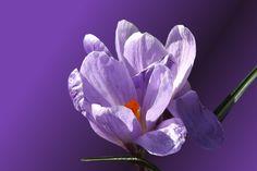 Bloom, crocus, purple flowers wallpaper