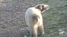 Nissan and Nobby, a polar bear duo become friends