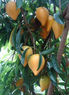 Canistel, a tropical fruit tree native to Southern Mexico and Belize.