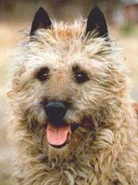 laekenois dog photo | LAEKENOIS - BELGIAN SHEPHERD DOG BERGER - CHIEN DE BERGER LAEKENOIS ...