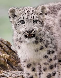 Snow Leopard Cub by Jim Braswell - Show Me Nature Photography