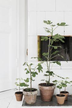 potted figs/trädgårdshallen | medina lind.