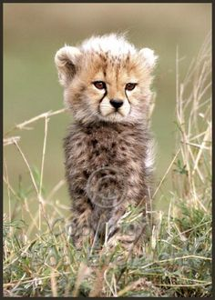 That face. :) xx Toto the cheetah cub from the BBC Wildlife Big Cat Diary show.