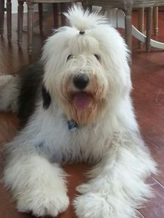 My Finley. An Old English Sheepdog chillin! Cute Puppies, Cute Dogs, Dogs And Puppies, Doggies, English Mastiff, Old English Sheepdog, Big Dogs, I Love Dogs, Animals And Pets